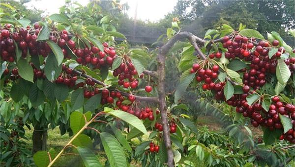 Mô hình trồng cây ăn quả kinh tế cao đến từ việc trồng cây ăn quả ngắn ngày cho thu hoạch sớm