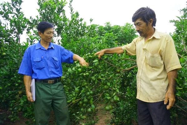 Làm giàu từ mô hình trồng xen cây ăn trái hiệu quả với biện pháp tổng hợp